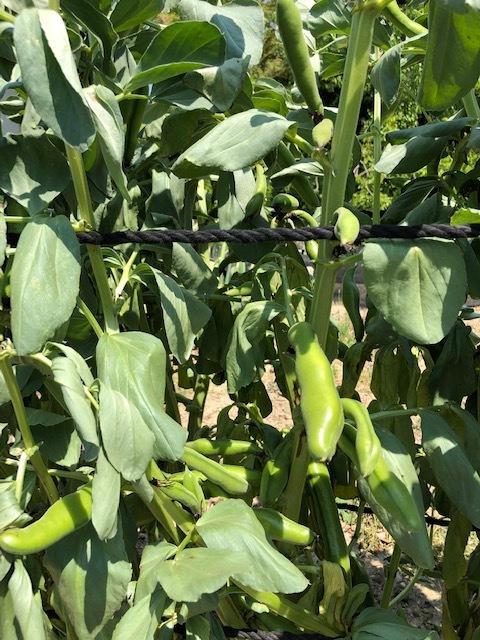 そら豆収穫_c0176340_23171842.jpg