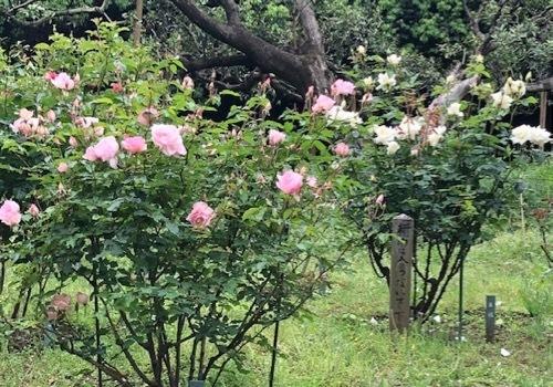 2020年5月 駒場公園のバラたち_a0094959_17354533.jpg