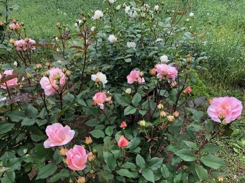 2020年5月 駒場公園のバラたち_a0094959_17372392.jpg