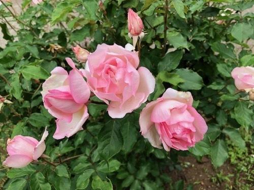 2020年5月 駒場公園のバラたち_a0094959_17404170.jpg