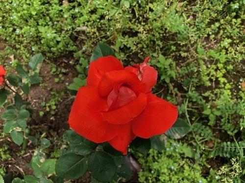 2020年5月 駒場公園のバラたち_a0094959_17424005.jpg