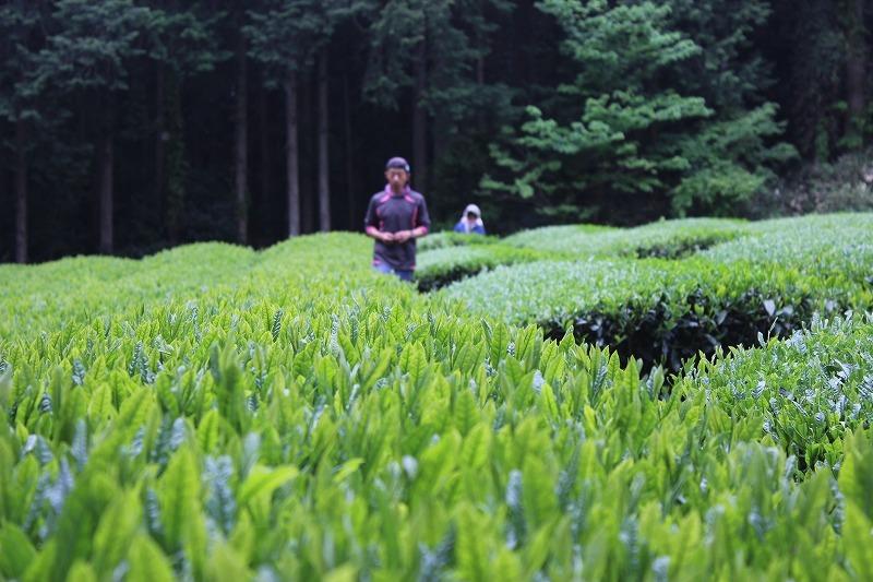 一番茶真っ最中_b0141264_21584873.jpg