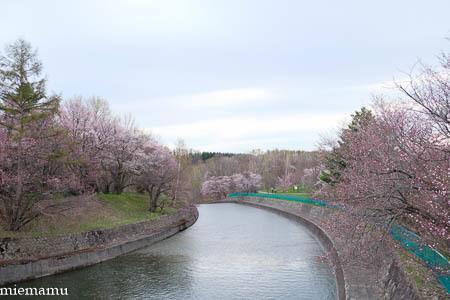聖台ダムの桜が咲きました~美瑛_d0340565_19434861.jpg