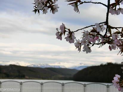 聖台ダムの桜が咲きました~美瑛_d0340565_19440347.jpg