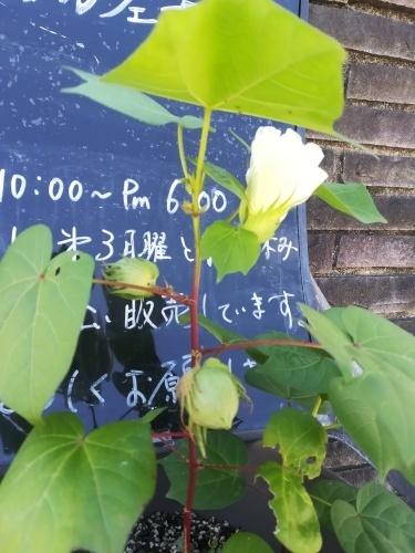 綿を植えました。_a0111166_04190505.jpg