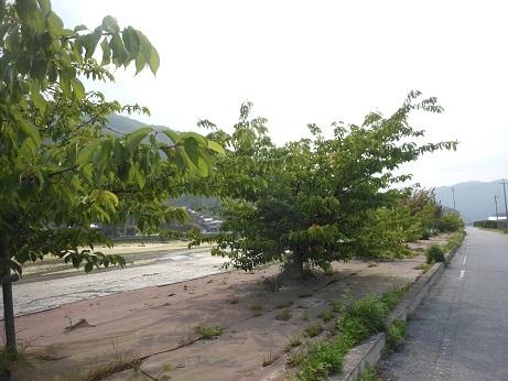 河津桜にサクランボ_e0175370_21161521.jpg
