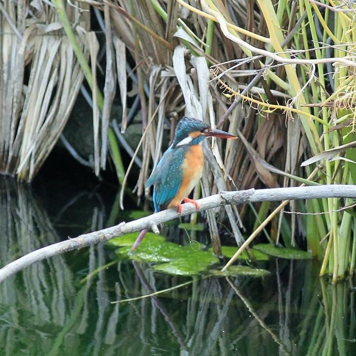 Kingfisher_c0129300_12240916.jpg