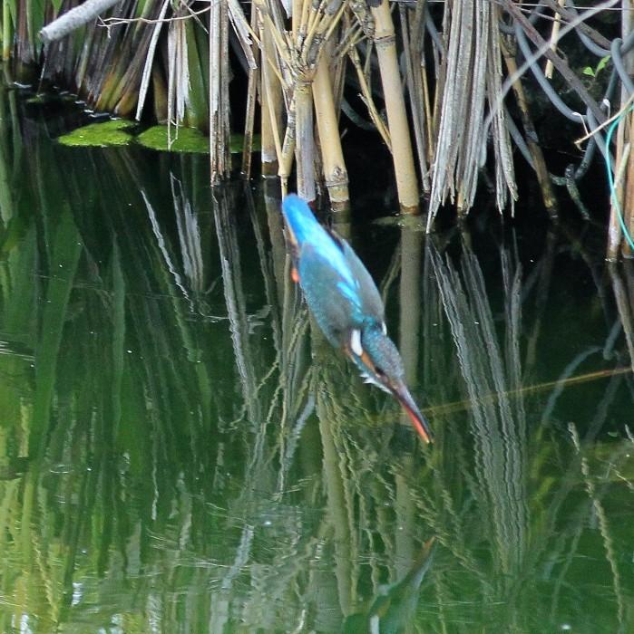 Kingfisher_c0129300_12241793.jpg