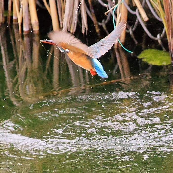 Kingfisher_c0129300_12243615.jpg