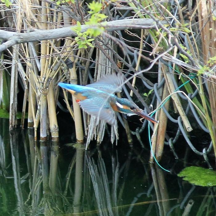 Kingfisher_c0129300_12245364.jpg