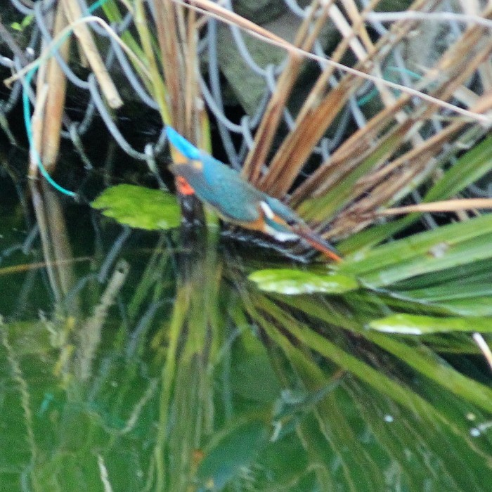 Kingfisher_c0129300_12245896.jpg