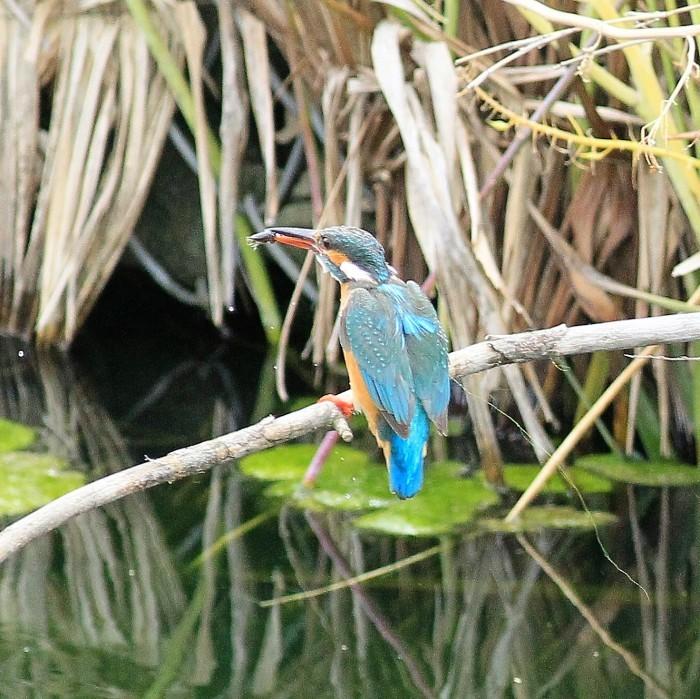 Kingfisher_c0129300_12251468.jpg