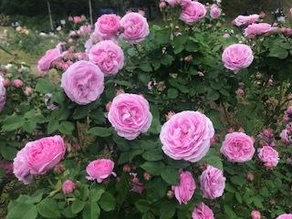 靭公園の空気。薔薇とクレープと友情と。_a0050302_16472180.jpg