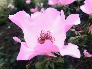 靭公園の空気。薔薇とクレープと友情と。_a0050302_16474302.jpg