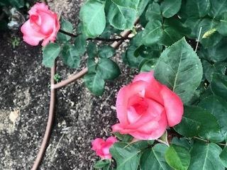 靭公園の空気。薔薇とクレープと友情と。_a0050302_16475208.jpg