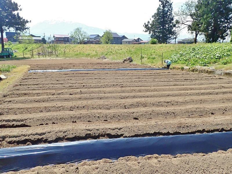 兼業農家は家庭菜園のマルチ掛け作業_c0336902_17421242.jpg