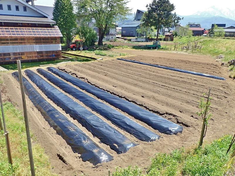 兼業農家は家庭菜園のマルチ掛け作業_c0336902_17421672.jpg