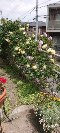 バラが咲きました_c0179308_11125395.jpg