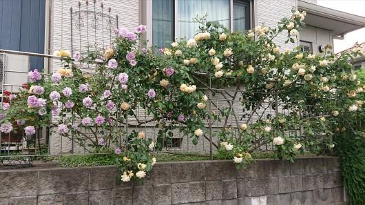 バラが咲きました_c0179308_11132156.jpg