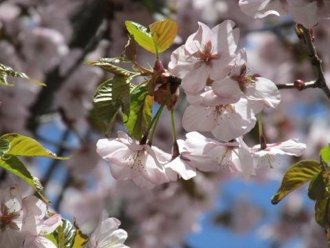 桜満開です!_d0072917_14300155.jpg