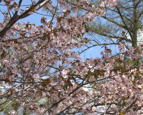 桜満開です!_d0072917_14303556.jpg