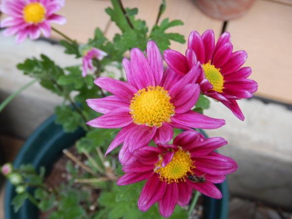 二度咲き菊(シェリー)_d0000324_11401292.jpg