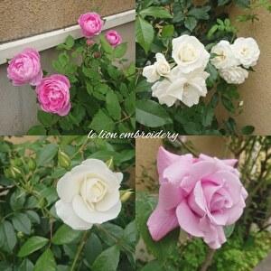 庭のバラが咲き始めました_a0146536_13525736.jpg