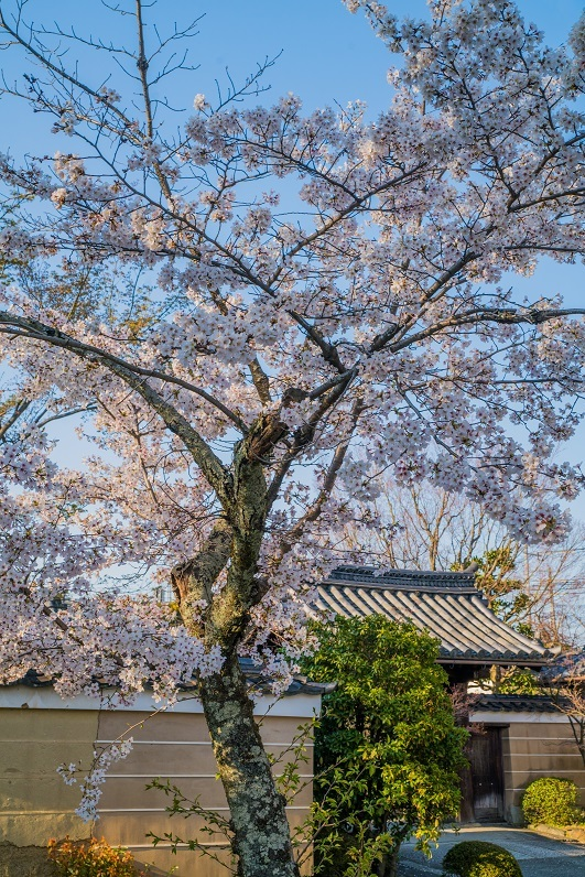 2020京都桜~神光院_e0363038_15033109.jpg