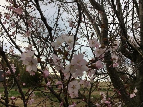 エゾヤマザクラを愛でやっと春_e0326953_17154569.jpg