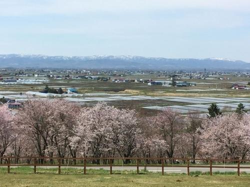 エゾヤマザクラを愛でやっと春_e0326953_17234177.jpg