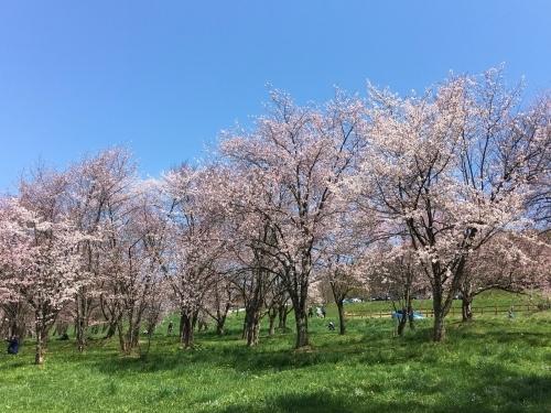 エゾヤマザクラを愛でやっと春_e0326953_17243481.jpg