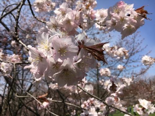 エゾヤマザクラを愛でやっと春_e0326953_17305141.jpg