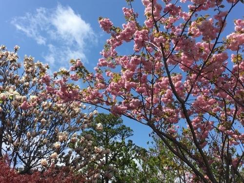 エゾヤマザクラを愛でやっと春_e0326953_18043270.jpg