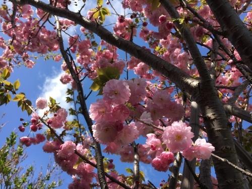 エゾヤマザクラを愛でやっと春_e0326953_18050124.jpg