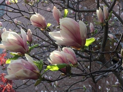 エゾヤマザクラを愛でやっと春_e0326953_18052645.jpg