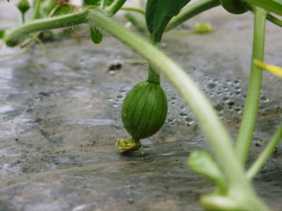 黒小玉スイカ『ひとりじめbonbon』定植後から現在までの様子(2020)5月下旬の出荷に向け元気に成長中!_a0254656_18041817.jpg