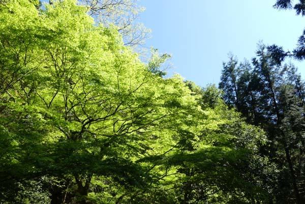 鴨川源流域 新緑が輝く_e0048413_20503305.jpg