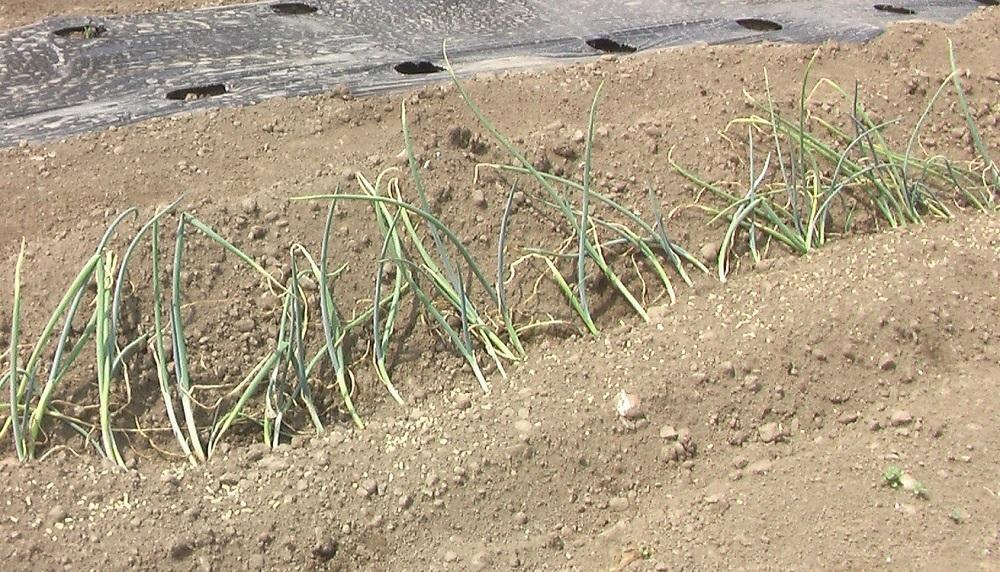 野菜の苗 植えました。_c0335218_15312490.jpg