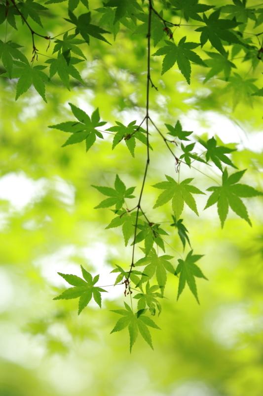 春もみじ_e0169421_21525141.jpg