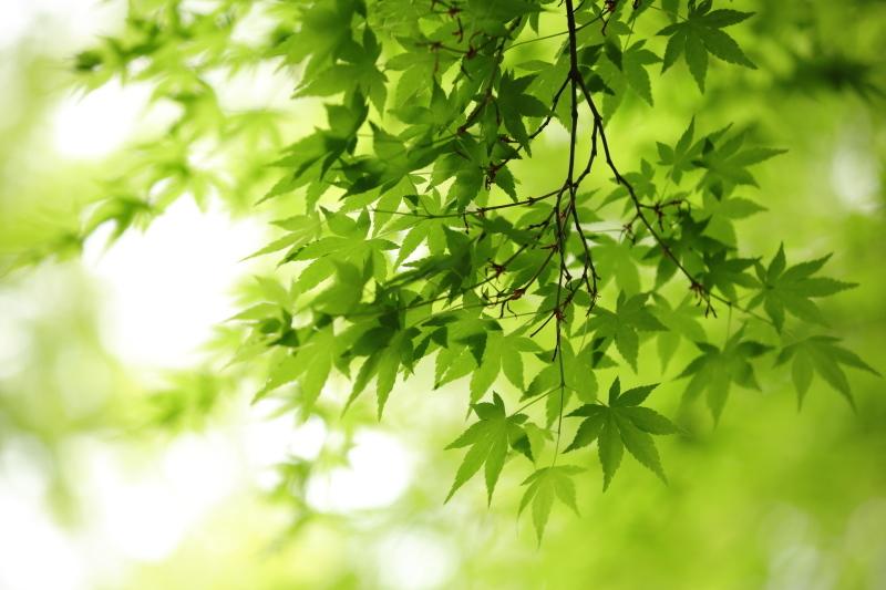 春もみじ_e0169421_21525913.jpg