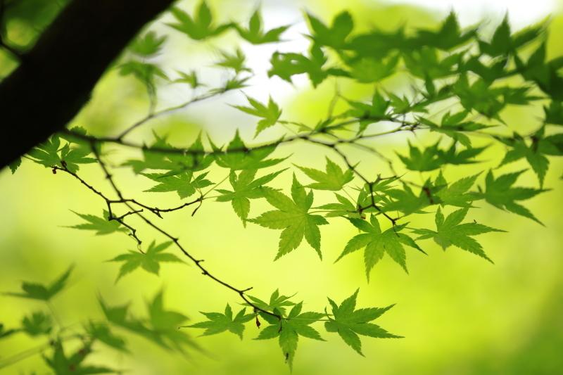 春もみじ_e0169421_21532590.jpg