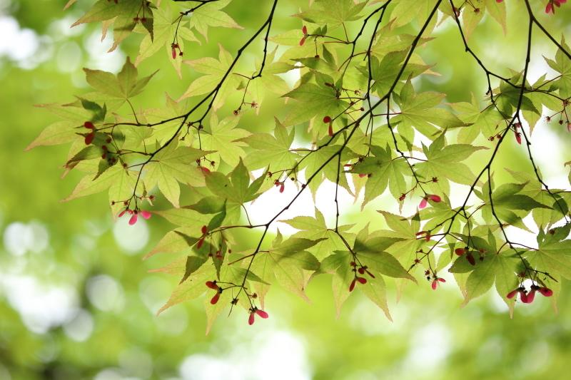 春もみじ_e0169421_21533002.jpg
