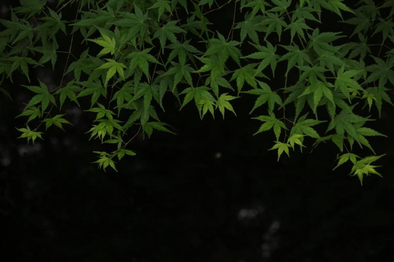春もみじ_e0169421_21534992.jpg