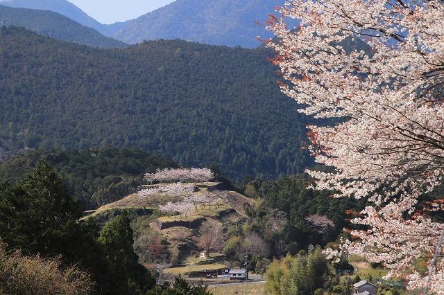 赤木城跡の桜満開(その1)(撮影:4月7日)_e0321325_19180992.jpg