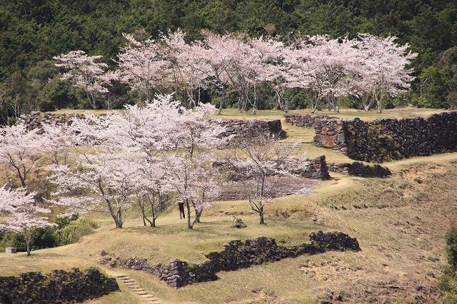 赤木城跡の桜満開(その1)(撮影:4月7日)_e0321325_19195772.jpg