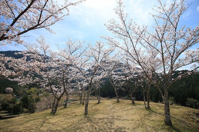 赤木城跡の桜満開(その1)(撮影:4月7日)_e0321325_19201256.jpg