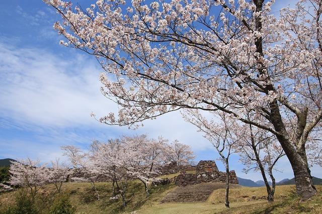 赤木城跡の桜満開(その1)(撮影:4月7日)_e0321325_19211164.jpg