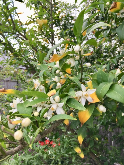 柚子の花_e0155231_15183801.jpeg