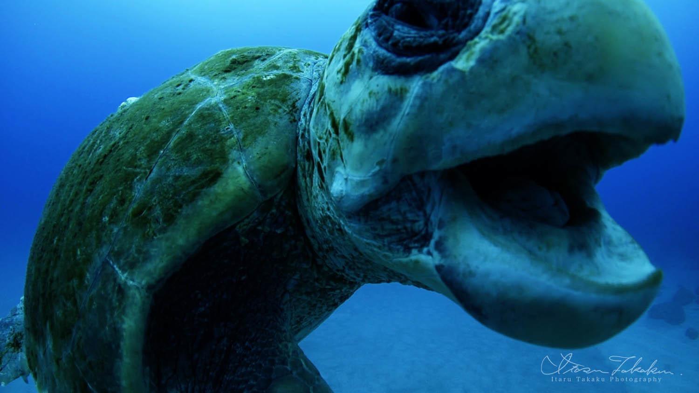 襲撃♂のアカウミガメ!_b0186442_21532507.jpg