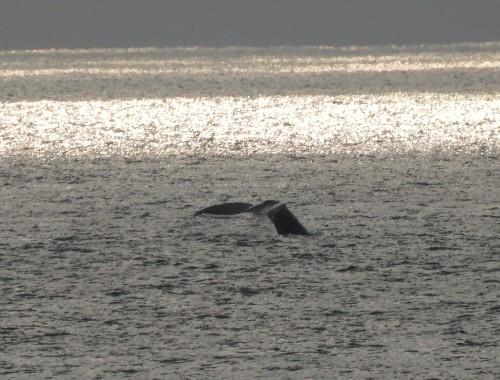 2020年鯨レポート 屋久島  ザトウクジラ_b0160957_17195543.jpg